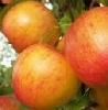 Apfel Grafensteiner KLII