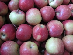 Apfel Royal Gala KLII
