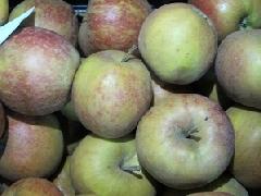 Apfel Boskoop KLII