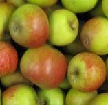 Apfel Cox Orange BIOLAND KLII
