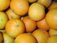 Orange Navelina 1-3er Größe Qualität VISIO
