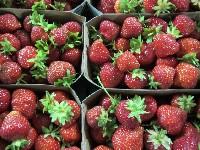 Erdbeeren 500g Schale KLII