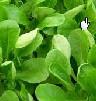 Salat, Feldsalat Bioland