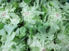 Salat, Eichblatt grün KLII