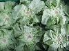 Salat Kopfsalat grün KLII