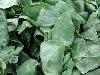 Spinat Hkl II neue Ernte