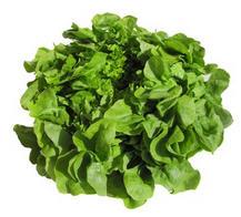 Salat, Eichblattsalat grün ECOCERT II