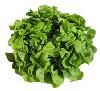 Salat, Eichblattsalat grün II