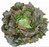 Salat, Batavia rot KLII