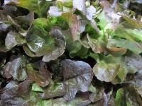 Salat, Eichblatt rot KLII