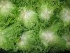 Salat, Batavia grün KLII