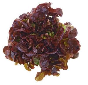 Salat, Eichblattsalat rot II