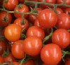 Tomate Strauchtomate ICEA KLII