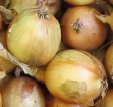 Zwiebel, große Küchenzwiebel