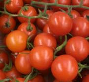 Tomate, Strauchtomate KLII Sardinien