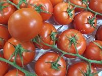 Tomate, Strauchtomate KLII