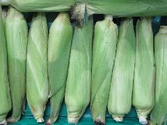 Maiskolben, Zuckermais frisch BIOLAND