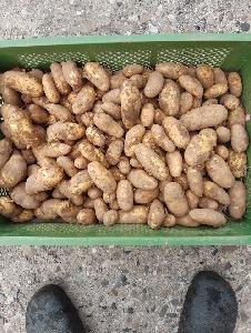 Frühkartoffel Annabelle festkochend
