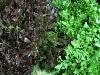Salat, Crispy grün(=Salanova) BIOLAND KLII