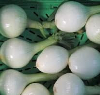 Zwiebel, Gemüsezwiebel frisch mit Grün