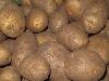 Kartoffeln Gunda mk HKI