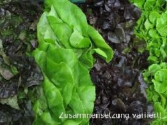 Salat, Pflücksalat