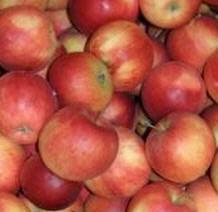Apfel Idared KLII