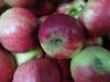 Apfel Elstar DEMETER KLII