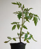 Tomatenpflanze, rot, rund