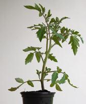 Tomatenpflanze Rotkäppchen rot, rund, 80 cm hoch
