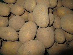 Kartoffel Anuschka festkochend, gelb